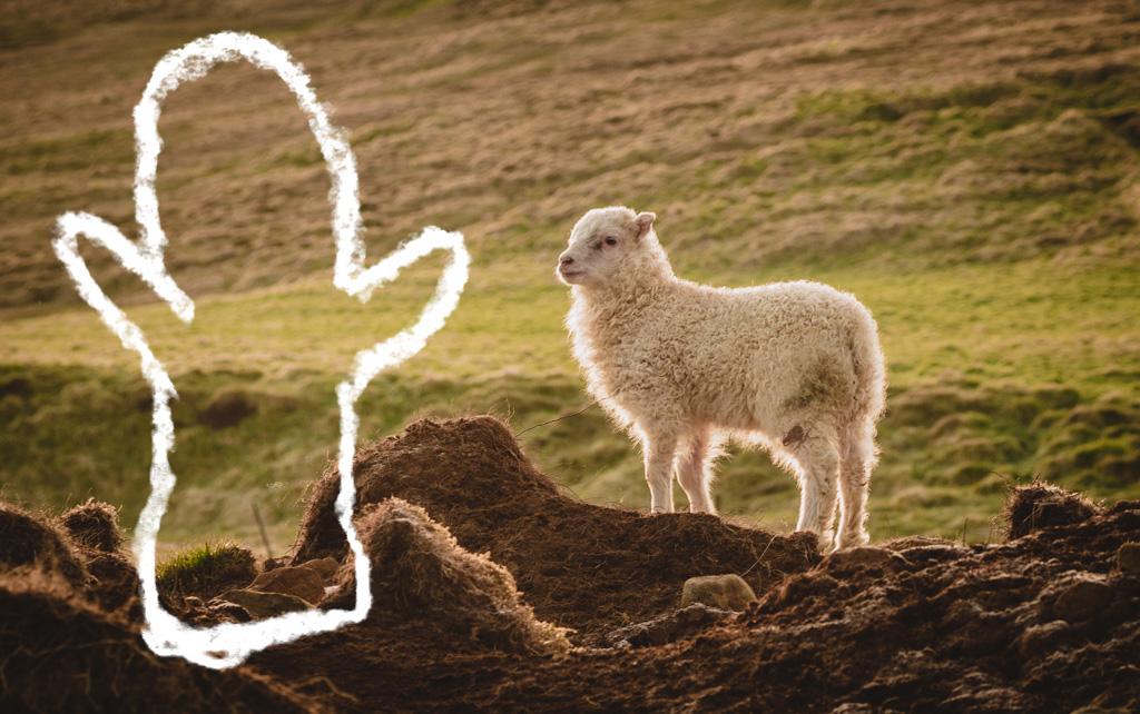 Karitsa ja lapanen Islannissa Kuva: Terhi Ilosaari