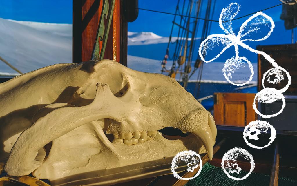Jääkarhun pääkallo Arktika-aluksella Kuva: Terhi Ilosaari, piirros: Sofia Kivistö