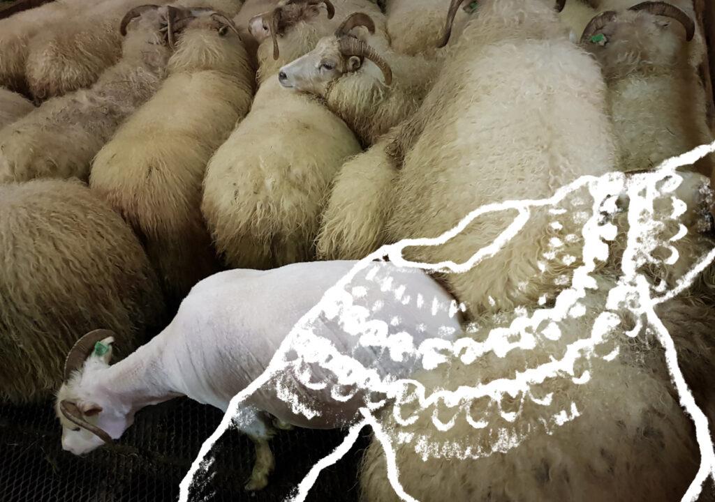 Islantilainen villalanka, lammas kertisemistalkoissa Kuva: Terhi Ilosaari