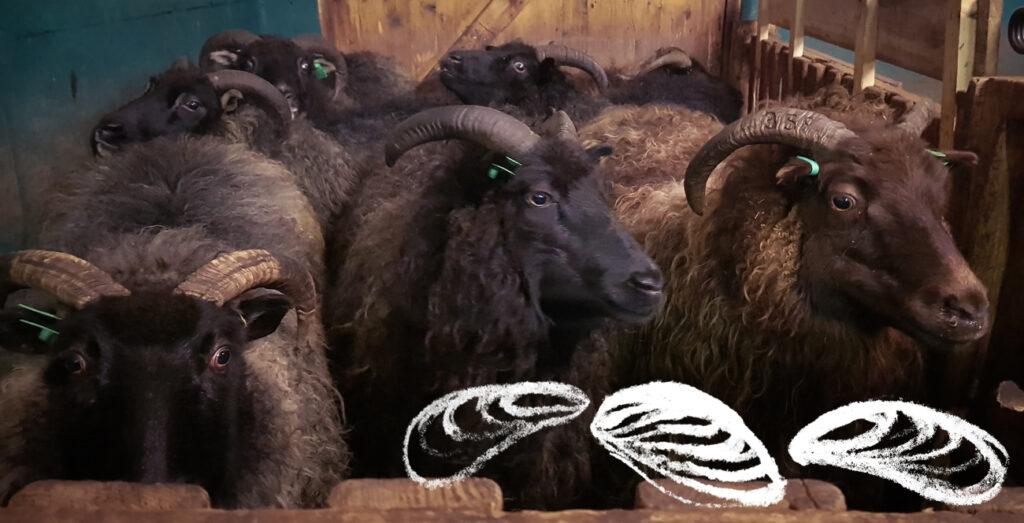 Tummat lampaat odottavat vuoroaan omassa karsinassaan Kuva: Terhi Ilosaari