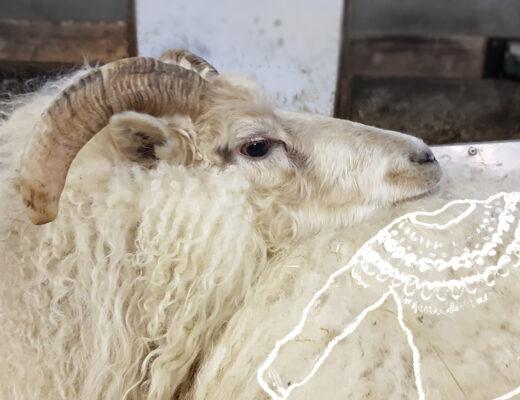 Islantilainen lammas ja lanka - uuhi odottaa vuoroaan keritsemisjonossa Kuva: Terhi Ilosaari