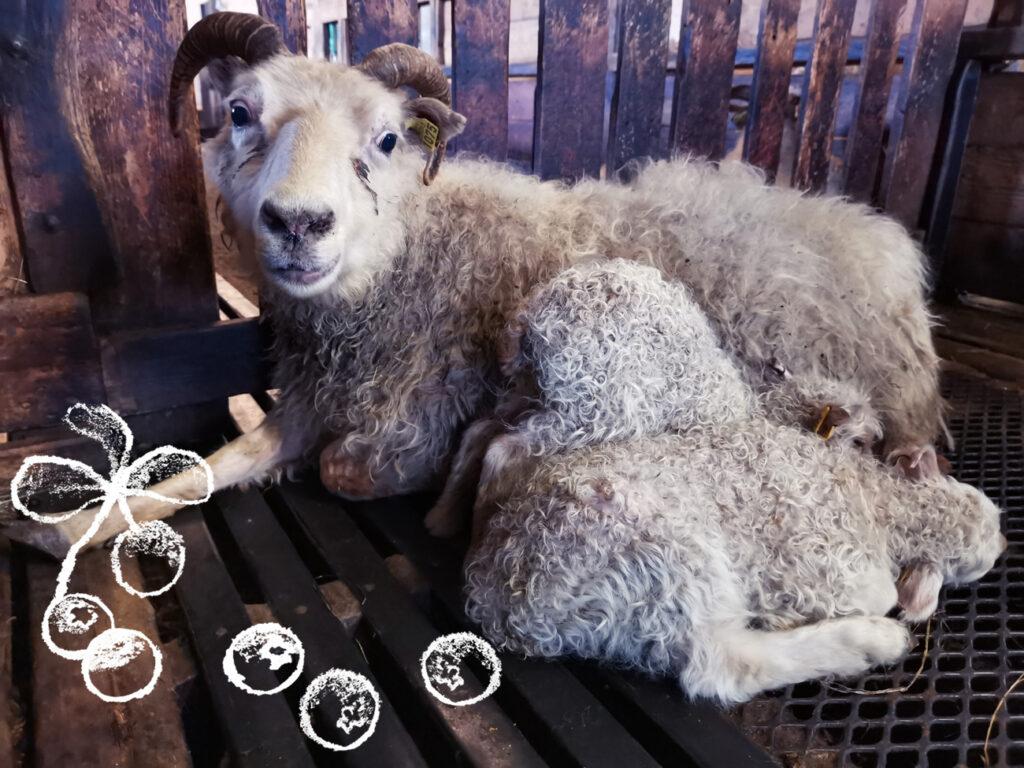 Islantilaisen lammastilan uuhi karitsoineen Kuva: Terhi Ilosaari