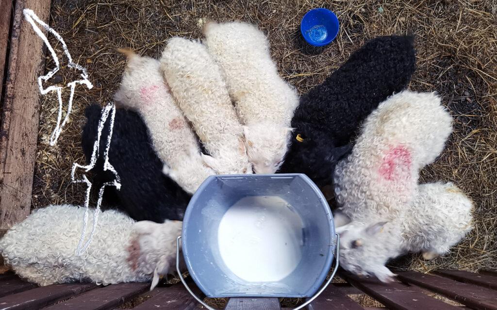 Kaksi mustaa ja kuusi valkoista karitsaa maitoämpärillä, jonka alareunassa tutit, joiden kautta karitsat saavat maidon Kuva: Terhi Ilosaari