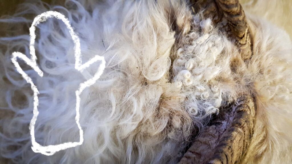 Islantilainen villalanka - toistaiseksi vielä lampaassa monella kiharalla Kuva: Terhi Ilosaari